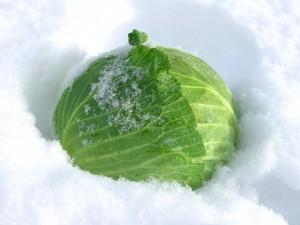 雪の中で甘さをます越冬キャベツ