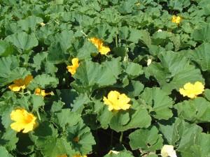南瓜の花(8頃の様子)