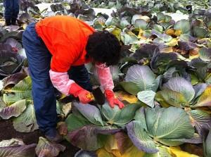 移住者-桐生さん-キャベツ収穫